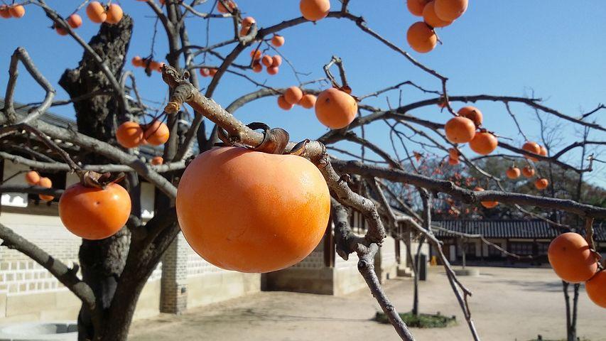 柿の木と夜這い文化
